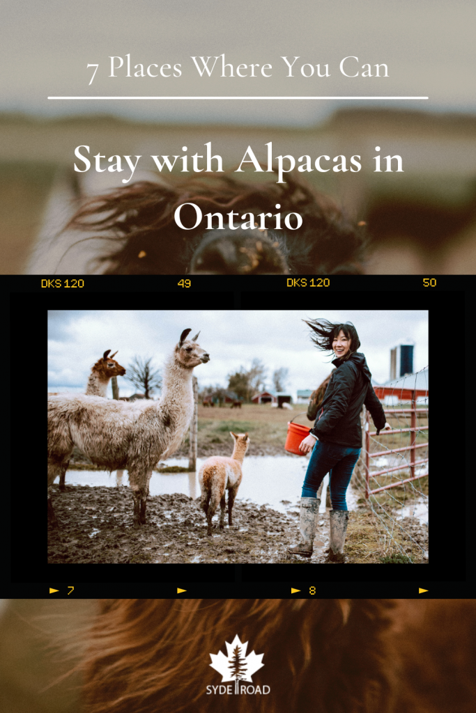 Film style photo of woman feeding a family of alpacas on a muddy farm. Background image is a close up of an alpaca.