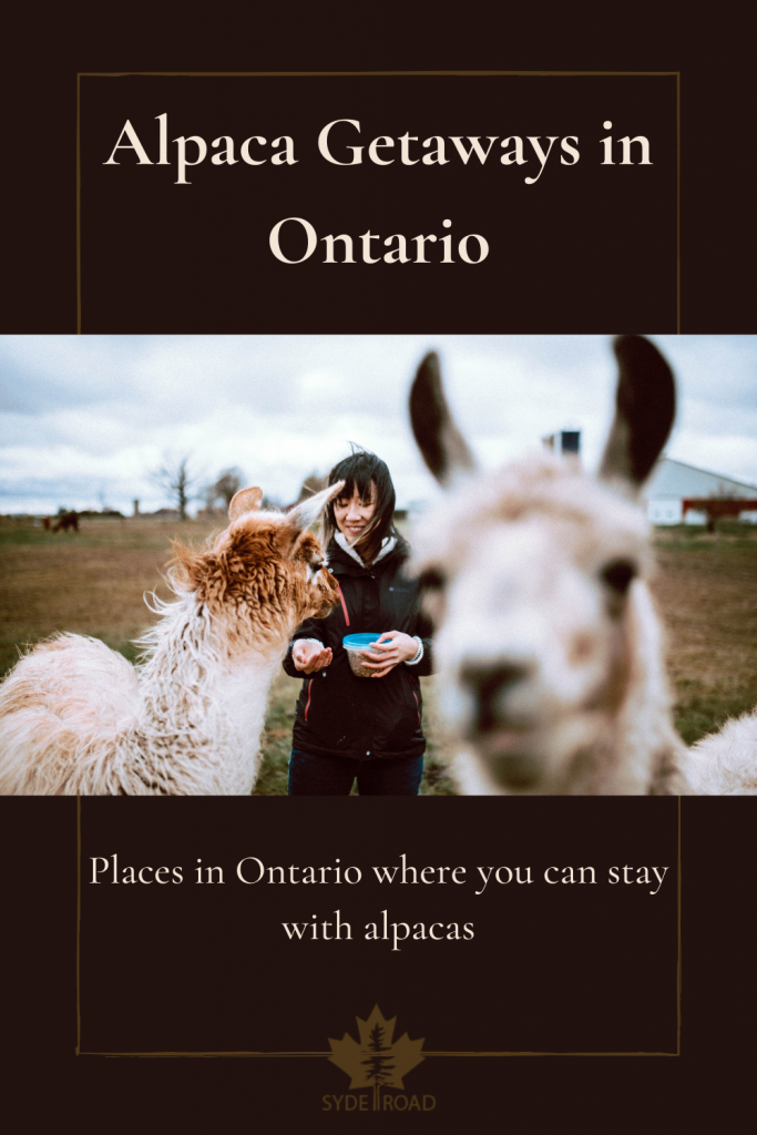 Alpaca walking in front of a woman finding another alpaca on an Ontario Alpaca Farm