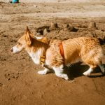 We corgi in a red harness running on the beach