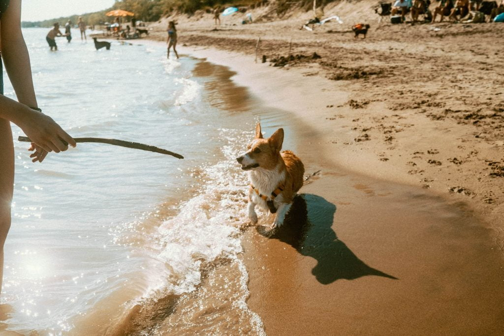 Corgi running on the shoreline of Lake Erie at Long Point Provincial Park. The dog is getting ready to chase after a stick in a person's hand