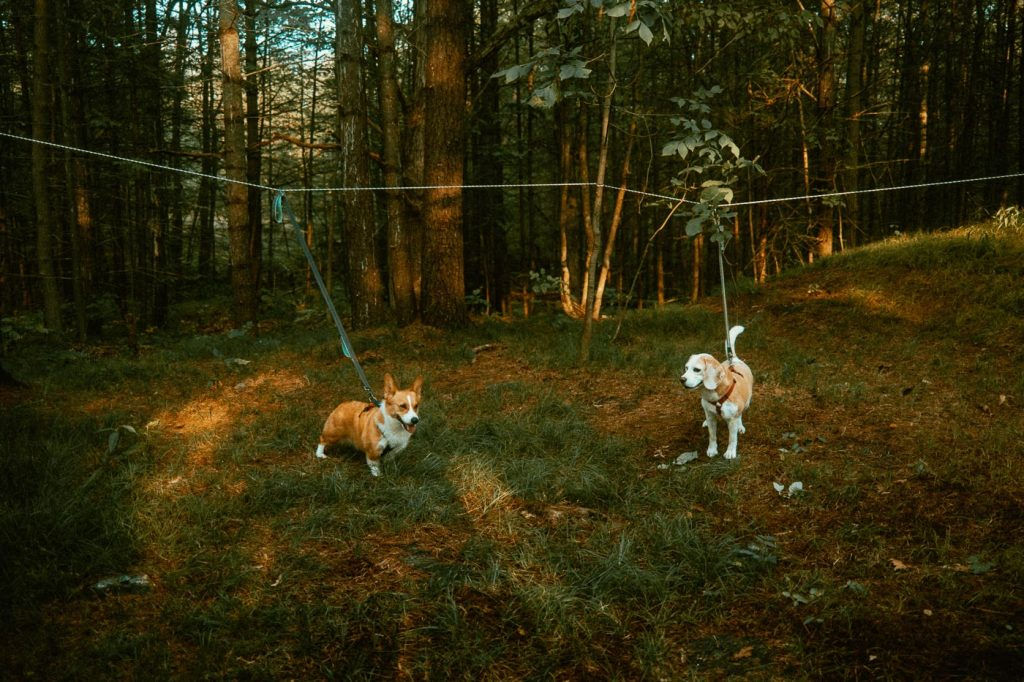 Dog Zipline set up with two dogs at Sibo's Bell Tent Glamping Site in Verona, Ontario