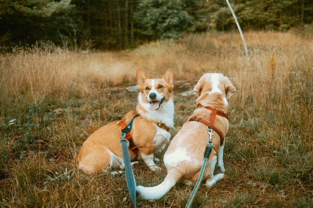 Exploring with a corgi and beagle on Sibo's Property while staying at the bell tent glamping site in Verona, Ontario