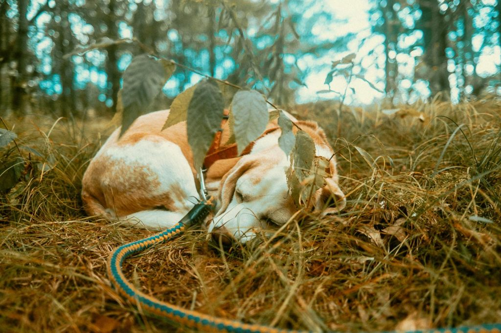 Beagle curled up under a branch at Bell Tent Glamping Site in Verona, Ontario