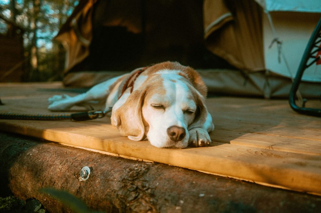 Beagle relaxing on bell tent deck at Sibo's Bell Tent Glamping Site in Verona, Ontario