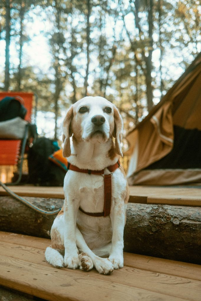 Beagle sitting crossed legged at Sibo's Bell Tent Glamping Site in Verona, Ontario
