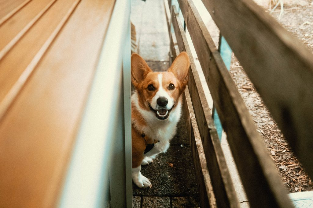 Corgi smiling at camera between a table and a wooden fence at Mildred's Temple Kitchen's Patio