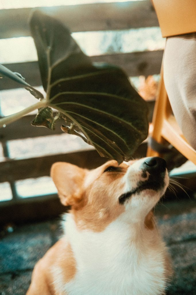 Corgi smelling a patio plant at Mildred's Temple Kitchen's Patio