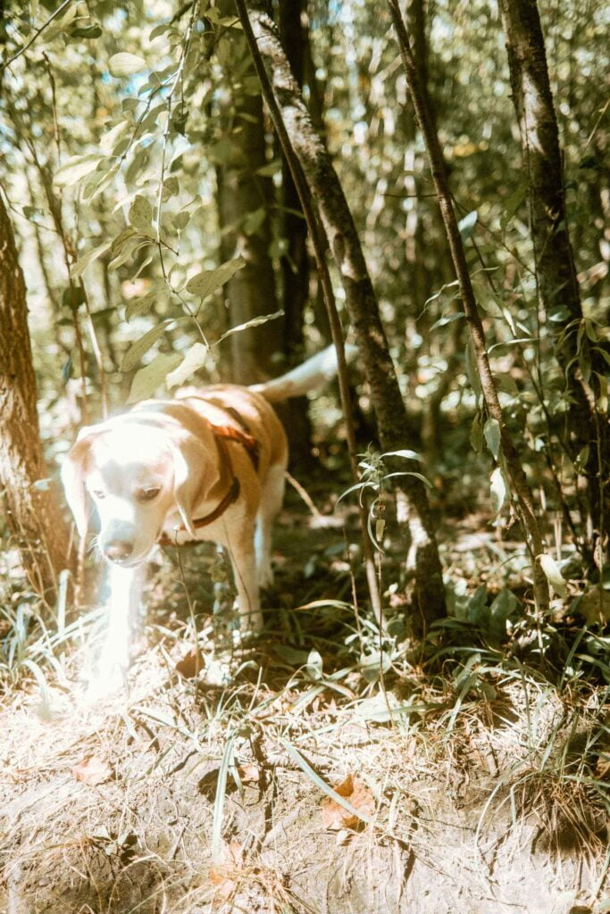 Beagle in the sunlight with forest in the background at Harmony Valley Dog Park