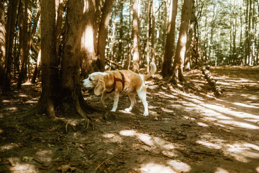 Beagle investigating more of the forested trails at the Harmony Valley Dog Park
