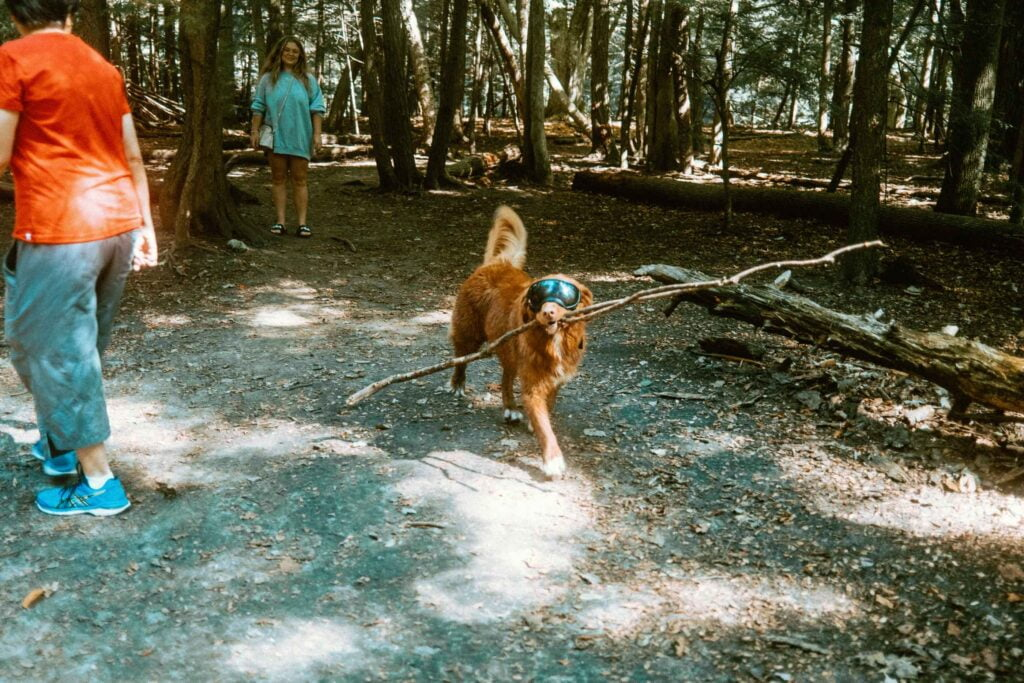 Golden Retriever wearing Rex Spex walking and carrying a large branch