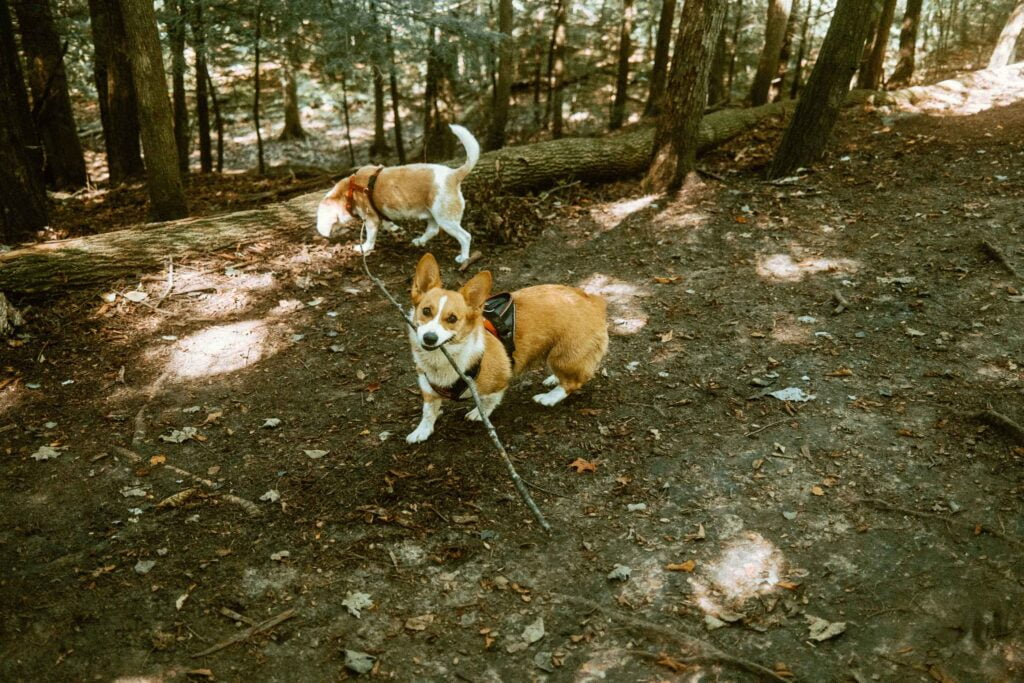 Beagle and Corgi running in the forest at Harmony Valley Off Leash Dog Park