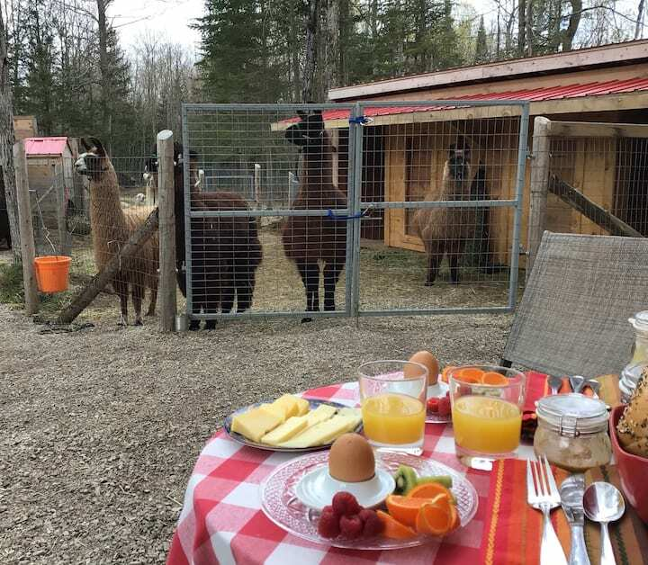 Forty Hills Ranch - gourmet breakfast with alpacas and llamas